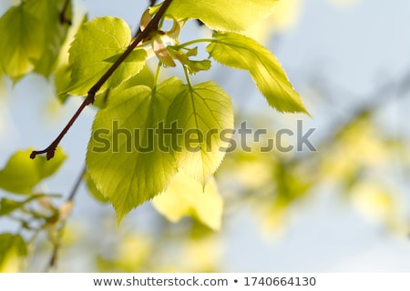 Backlit Yellowish Leaves Stock photo © ca2hill