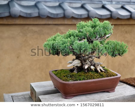 conifer bonsai tree Stock photo © marimorena