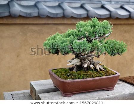 bonsai · görüntü · güzel · küçük · ağaç · bahçe - stok fotoğraf © marimorena
