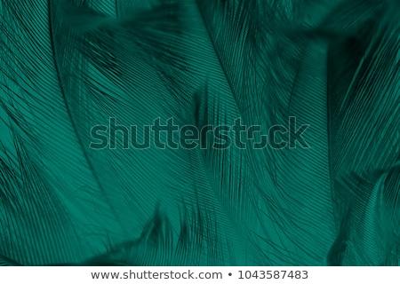 Tavuskuşu renkli tüyler uzun kuyruk kuş Stok fotoğraf © sirylok