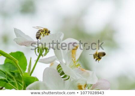 méh · virág · kicsi · fehér · virág · almafa · tavasz - stock fotó © kawing921