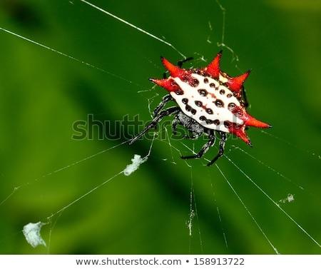 Siyah küre örümcek asma web Stok fotoğraf © rhamm