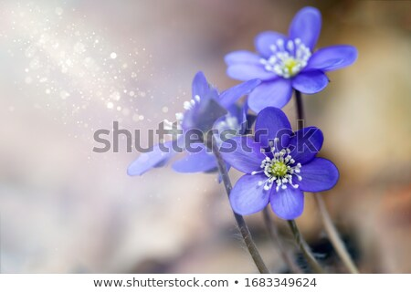 Blue Flowers of Hepatica Nobilis stock photo © tainasohlman