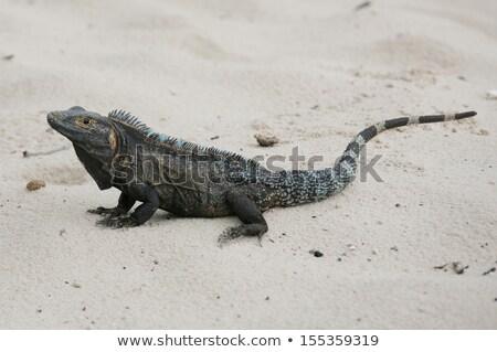 Preto iguana areia praia olho cidade Foto stock © dacasdo