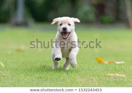 Labrador retriever puppy een week oude hond Stockfoto © silense