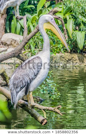 Pelican portrait Stock photo © maros_b