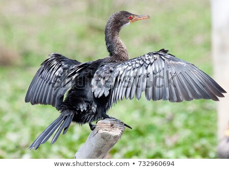 Long-Tailed Cormorant (Phalacrocorax africanus) taking off Stock photo © davemontreuil