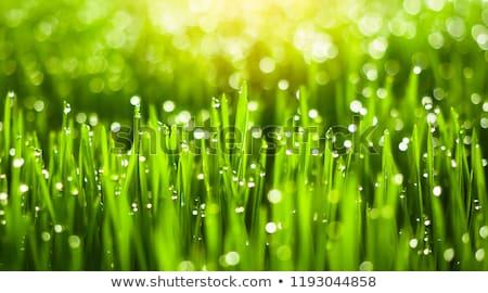 Bladeren gras tarwe dauw ochtend licht Stockfoto © meinzahn