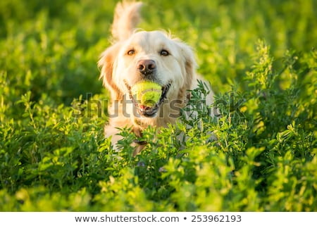 Golden Retriever in Farmland Stock photo © JFJacobsz