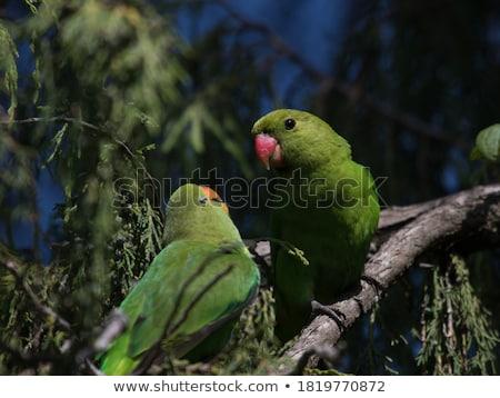 молодые зеленый глядя любви пару птица Сток-фото © jarin13