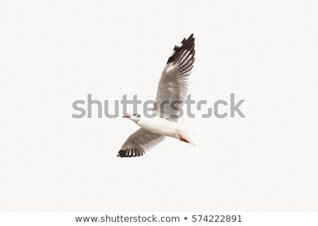 Stock photo: Seagull isolated on white background.