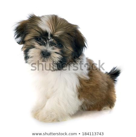 Fiatal kutyakölyök kutya szomorú fehér stúdió Stock fotó © cynoclub