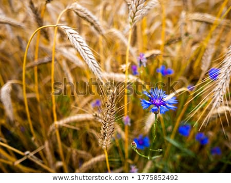 Buğday Stok Fotoğraflar Stok Görüntüler Ve Vektörler Stockfresh