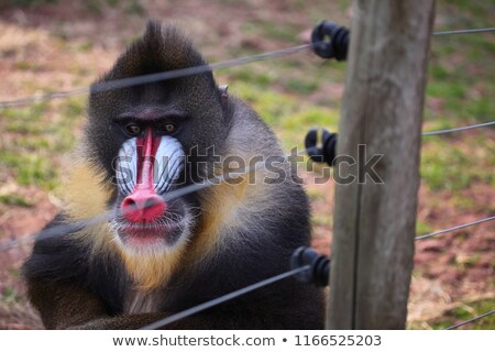 macaco · masculino · retrato · animal · floresta · Camarões - foto stock © radub85