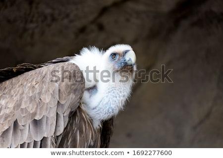 Dögkeselyű fa park Dél-Afrika természet madár Stock fotó © simoneeman
