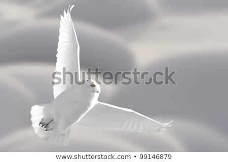 Snowy Owl Saskatchewan Canada in Flight Stock photo © pictureguy