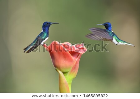 Hummingbird flying around the flowers Stock photo © bluering
