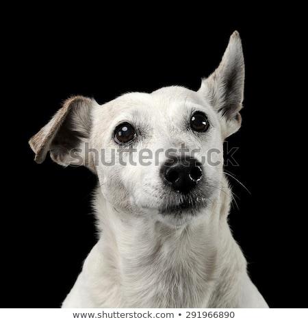 Amuzant câine care zboară urechile portret întuneric Imagine de stoc © vauvau