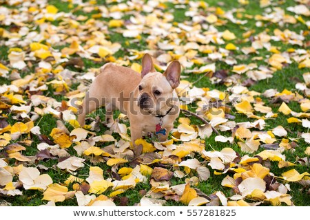 french bulldog   canis lupus familiaris mature puppy in foliage background stock photo © yhelfman