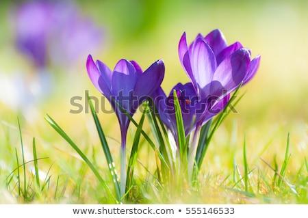 Geel · lentebloemen · macro · geïsoleerd · witte · Pasen - stockfoto © franky242