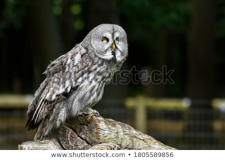 great gray owl stock photo © hofmeester