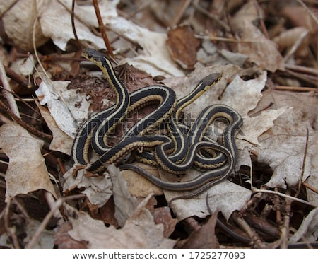 Eastern Garter Snake Stock photo © brm1949