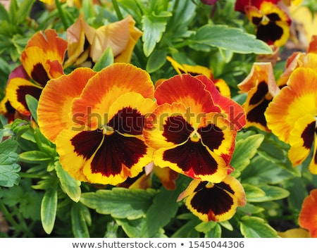 orange pansies stock photo © hofmeester