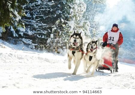 Hond race sneeuw verbergen achter slee Stockfoto © vwalakte