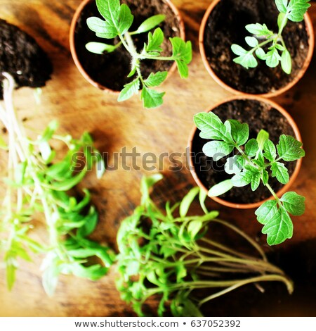 Young tomato seedlings on wooden backdround. Gardening concept. Top view. Stock photo © Virgin