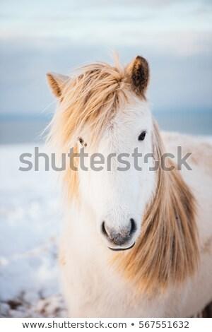 Portrait of an Icelandic horse in a field Stock photo © Kotenko