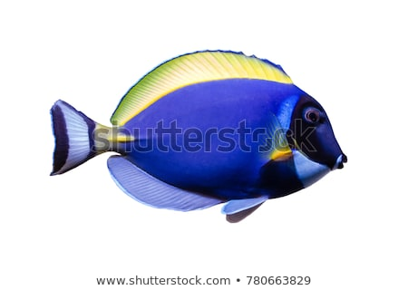 Powder blue tang fish in the ocean Stock photo © bluering