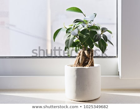 ficus bonsai stock photo © antonio-s