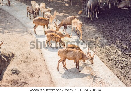deer eat in a zoo safari in the summer noon stock photo © galitskaya
