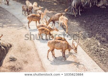 Geyik yemek hayvanat bahçesi safari yaz öğle Stok fotoğraf © galitskaya