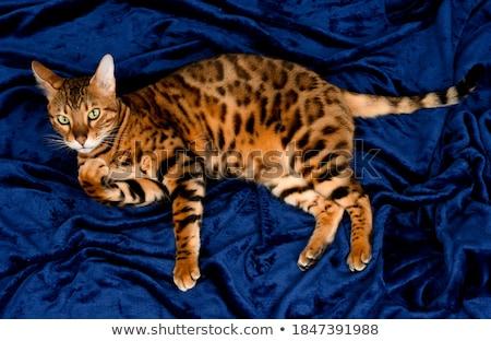 portrait of the beautiful bengal cat stock photo © dashapetrenko