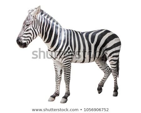 zebra · vliegtuig · geïsoleerd · witte · paard - stockfoto © DragonEye