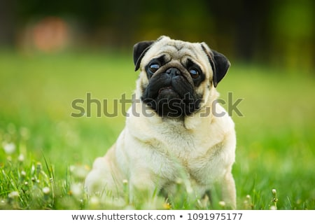 Portrait of an adorable Mops (or Pug) Stock photo © vauvau