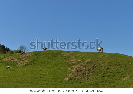 A lot of cows are grazing in the meadow in a spring day. Stock photo © artjazz