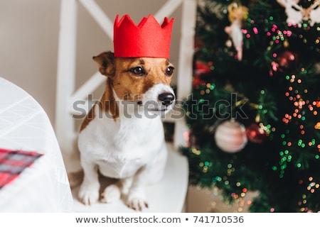 Witte bruin jack russell hond Rood kroon Stockfoto © vkstudio