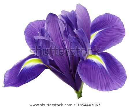 синий · Iris · вектора · цветок · бутон · расплывчатый - Сток-фото © hermione