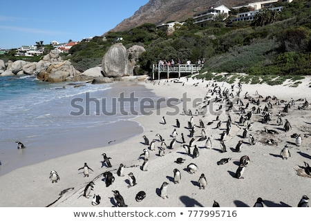 Pinguins at Boulder's Beach Stock photo © HerrBullermann