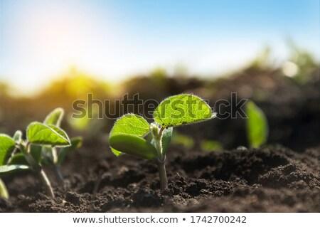 Szójabab palánta izolált fehér felhők zöldség Stock fotó © vtorous