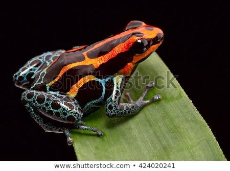 veleno · Dart · rana · cute · Panama - foto d'archivio © kikkerdirk