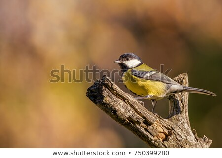 Great Tit female with worn feathers stock photo © suerob