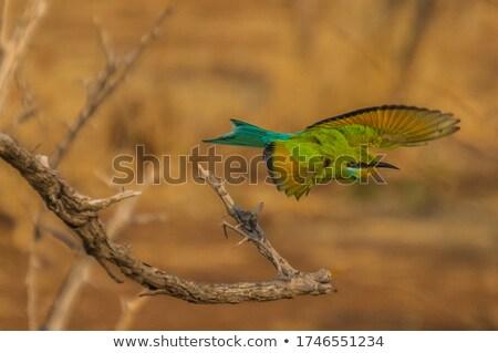 Little Bee-eater taking flight Stock photo © suerob