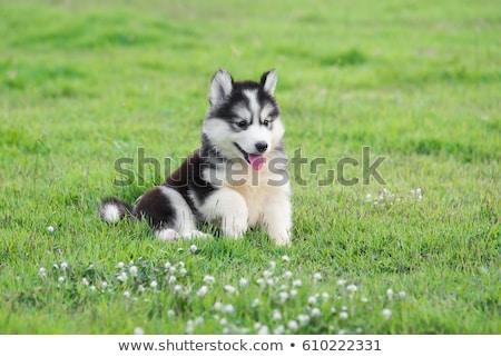 rouco · cachorro · olhos · azuis · velho · feminino · bebê - foto stock © silense