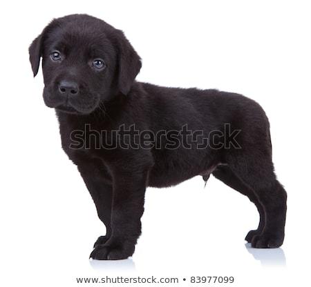 curioso · negro · labrador · labrador · retriever · cachorro · pie - foto stock © feedough