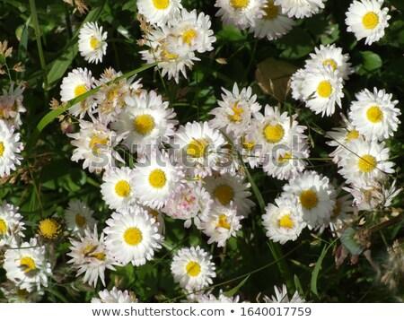witte · bloemen · blauwe · hemel · hemel · zon - stockfoto © artush