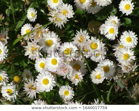 blanco · flores · cielo · azul · cielo · sol - foto stock © artush