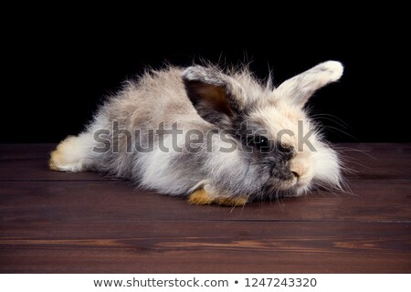 Cute Grey and White Bunny Rabbit Lying Down Resting On White Stock photo © scheriton